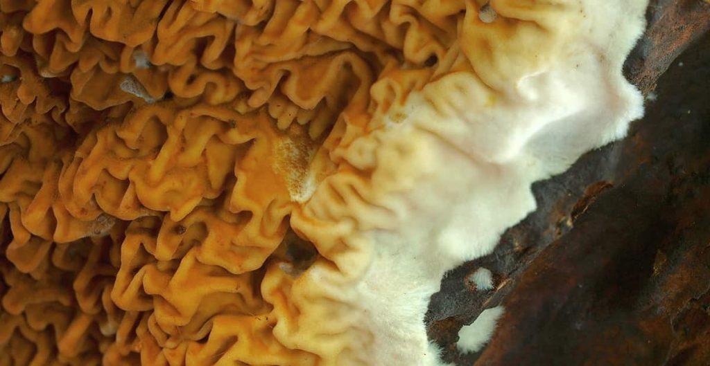 Mérule Pleureuse – Ce que c'est et comment s'en débarrasser