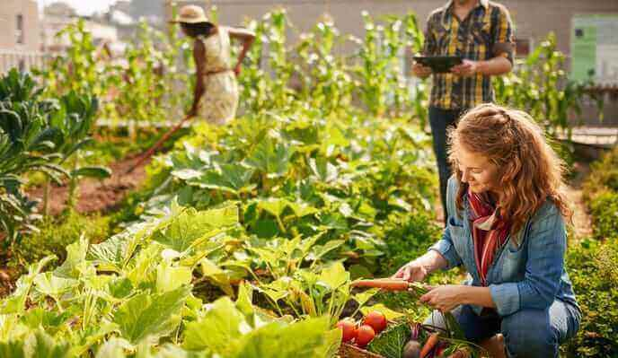 Woman picking vegetables with other people working on a green roof
