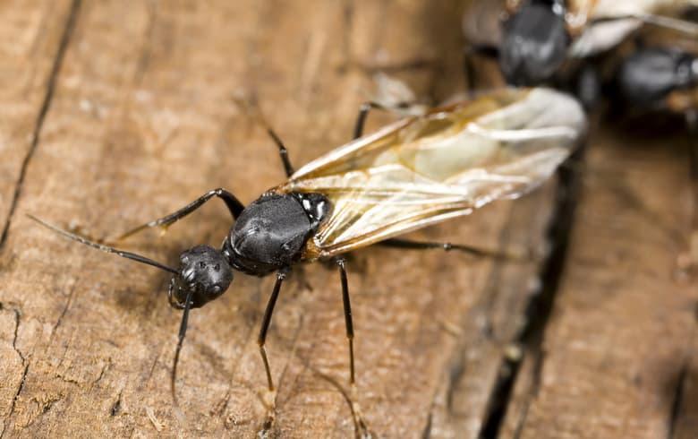 fourmis charpentière avec ailes sur du bois