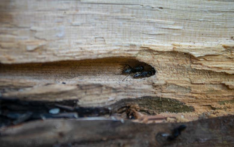 dommages structuraux causés à une maison par des fourmis charpentières